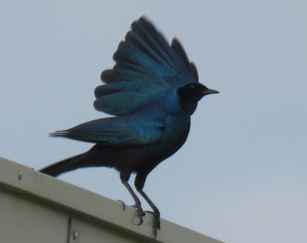 botswana - burchell's starling, 1-16-19, cresta hotel (3)